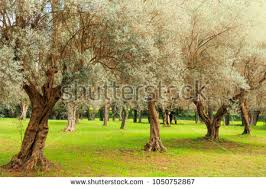 olive europaea stock images royalty free images vectors