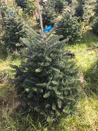 living pot grown nordman fir includes chosen day delivery in our