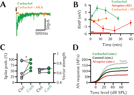 cholinergic top down influences on the auditory brainstem e
