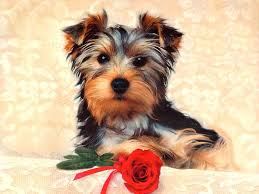 Dog Wallpapers Hd Wallpapers Small Dog Wallpapers