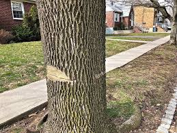 in dongan a partially sawed tree has resident fearing worst