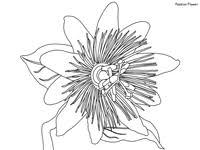 Rainforest Passion Flower - daintree rainforest coloring pages