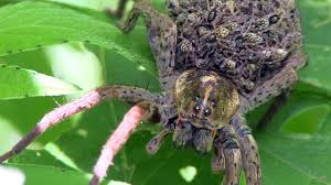 wolf spider babies trinity forest 5 youtube