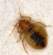 Bed Bug Bed Bugs Informational Guide To Bed Bugs Purdue Monitoring
