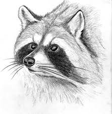 charcoale racoon sketch by twinkletoes3395 on deviantart