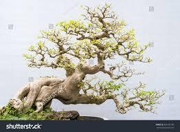 miniature bonsai trees used decoration stock photo 326135189