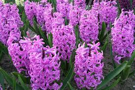 Hyacinth Flower Hyacinths Rhs Gardening
