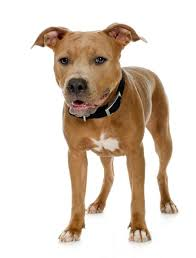 american pitbull terrier info pitbull breeding information dog care the daily puppy