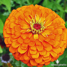 zinnia flower orange king zinnia