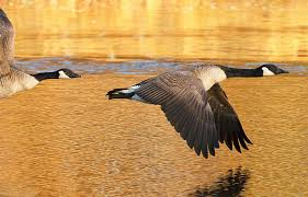 canada goose black friday flying geese images canada geese flyways us images to paint