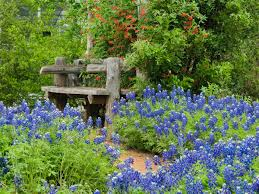 plants native to texas how to grow texas bluebonnets lady bird johnson wildflower center