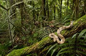 mystery solved how snakes climb trees u2013 national geographic