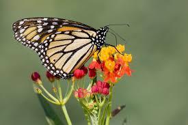 butterfly flowers flowers that attract monarch butterflies