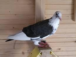 cuisine des pigeons voyageurs pigeon voyageur romuald tu devrai aimé