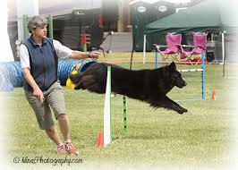 belgian sheepdog oregon obsidian belgian sheepdogs groenendaels for work and sport