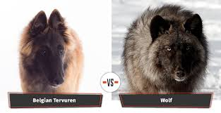 belgian sheepdog wolf mix dogs that look like wolves 22 dogs that have a lupine look