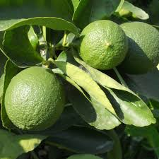 persian lime tree for sale online garden goods direct