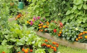 backyard garden with vegetables and marigolds ornamental
