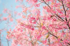 Peinture Cerisier Japonais by Fleur De Cerisier Banque D U0027images Vecteurs Et Illustrations