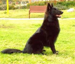 belgian sheepdog black belgian sheepdog pictures