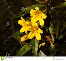 carolina yellow jasmine flowers royalty free stock images image