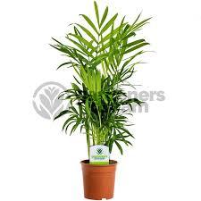 gardenersdream indoor plant mix 3 plants house office live