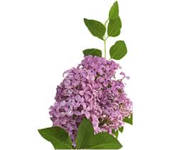 lilac flowers lilacs flower meaning symbolism teleflora