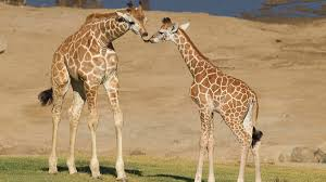 San Diego Safari Park Map by San Diego Zoo Safari Park Welcomes 2 Baby Giraffes Nbc 7 San Diego