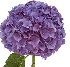 purple hydrangea online wholesale bulk cut hydrangea purple