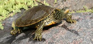 map turtle reptiles and amphibians of ontario a ontario reptile and