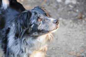 australian shepherd catahoula mix musings of a biologist and dog lover identifying merle