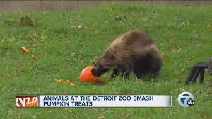 animals at the detroit zoo smash pumpkin treats youtube