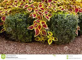ornamental shrubs stock photo image 47508138