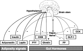 hormonal regulation of food intake physiological reviews mind