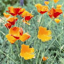 shop seeds of change california poppy mix organic flower seed