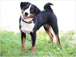 ergebnis für http www 33 best appenzeller mountain images on dogs count