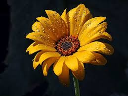 free picture flowers dew rain