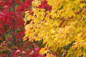 Fall Autumn by Free Picture Autumn Leaves Yellowish Leaves Red Trees Foliage