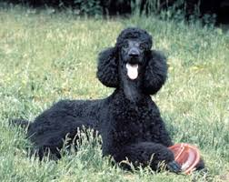 standard poodle hair styles poodle history training temperament