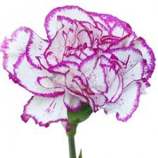 Purple Carnations Carnations Other Flowers