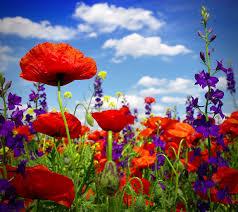 sky flowers poppies clouds closeup
