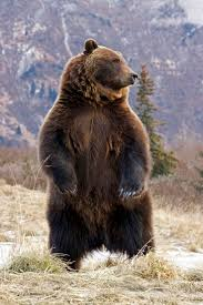 best 25 grizzly bear cub ideas on pinterest grizzly bears cute