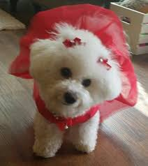 d douglas bichons frise 47 best wonderful dogs i need to have in my life images on