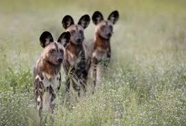 safari ltd african wild dog botswana safari focused on african hunting dogs with south africa