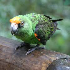 Canopy Birds by Red Fronted Parrot Wikipedia