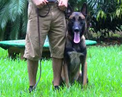 belgian malinois names iron male belgian malinois high class k9 protection dogshigh