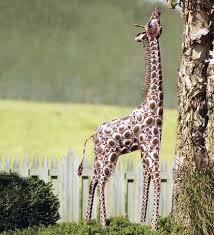 baby giraffe metal yard sculpture garden and yard catalogs and