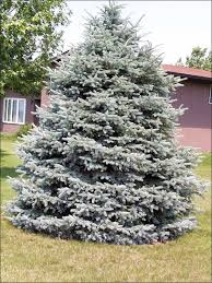 blue spruce trees colorado blue spruce tree in the backyard beautiful colorado blue
