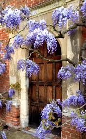 wisteria sinensis australian bush flower 716 best wisteria lane images on pinterest wisteria flowers