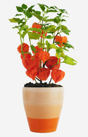 Japanese Lantern Plant How To Grow And Take Care Of A Chinese Lantern Plant